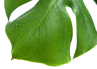 Monstera leaf with drop of water isolated on white background.