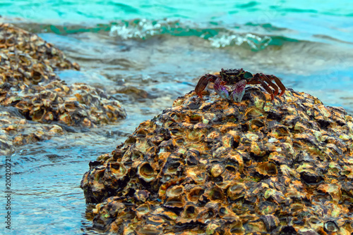 Big Live crab on top of a coral reef, high tide. Copy space.