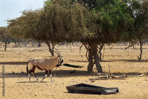 Aluminium Abu Dhabi Arabian oryx or white oryx (Oryx leucoryx) in reserve, natural habitat, goes to its trough. UAE, Abu Dhabi.