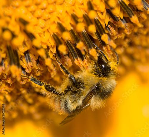 Plexiglas Bee a bee on a flower of a sunflower