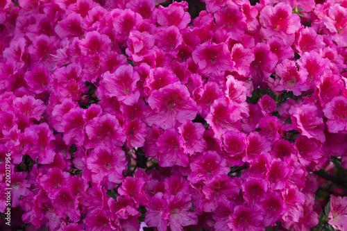 In de dag Azalea Azalea Rhododendron flowers background