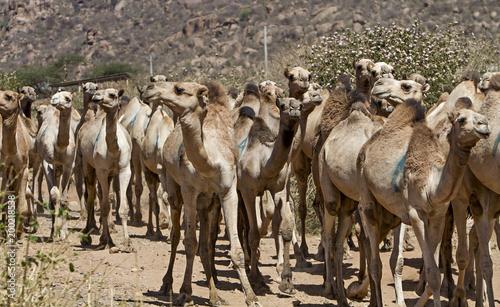 Fototapeta herd of camels in ethiopia