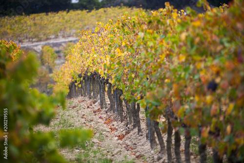 Deurstickers Wijngaard Francia del Sud, vigneti in autunno.