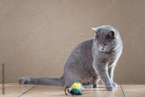 Fotobehang Kat British cat playing with mouse