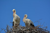 A stork couple in the nest