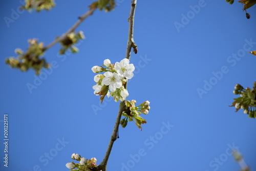 Kwiat wiśni w kwietniu