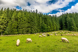 Flock of sheep on meadow in spring, landscape with fresh grass and green forest - 200225958