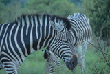 Fototapeta Zebras grazing at sunset