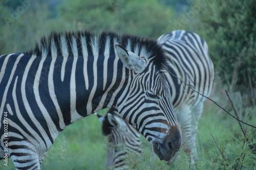 Zebras grazing at sunset