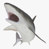 Blacknose Shark on white. 3D illustration