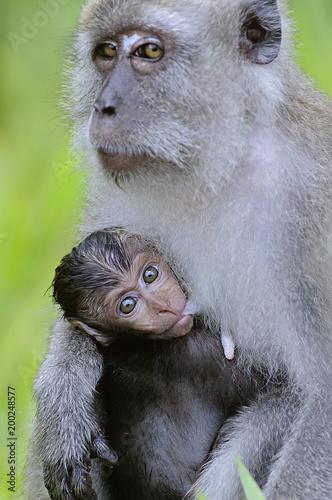 baby monkey breast feeding