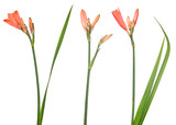 three red isolated small lily flowers with buds