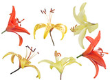 set of six lily flower blooms isolated on white
