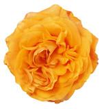 fine isolated bright orange color rose