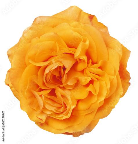 Foto Murales fine isolated bright orange color rose