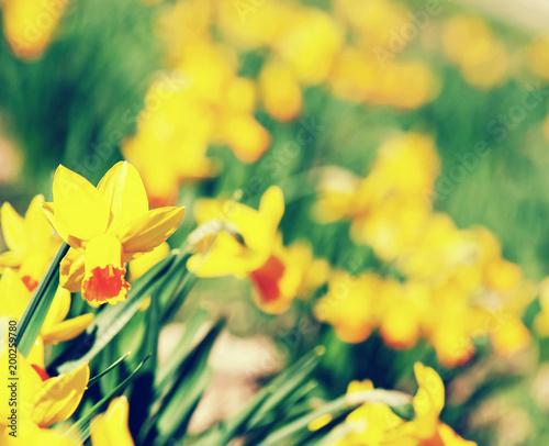 Tło żółci daffodils, piękno filtr