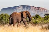 old male elephant