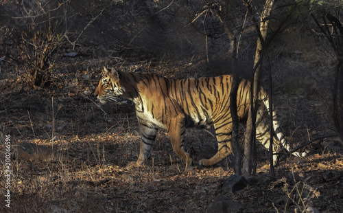 Plexiglas Tijger Wild tiger from Ranthanbhor national park in India