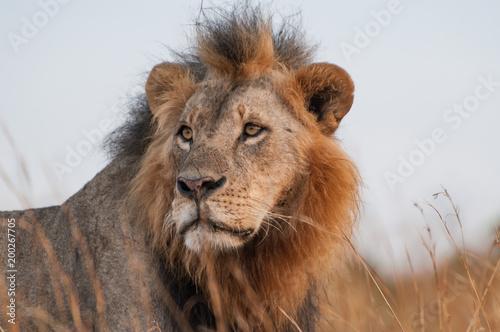 Plexiglas Lion Lion portrait