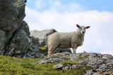 Sheep on pasture - 200268374