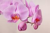 розовый цветок орхидеи