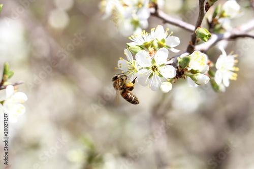 Plexiglas Bee пчела собирает мёд на природе в горах