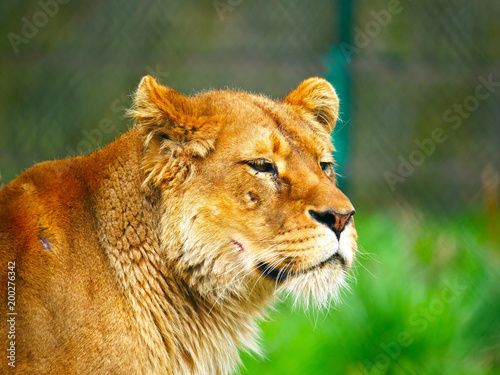 Plexiglas Lion Lionne