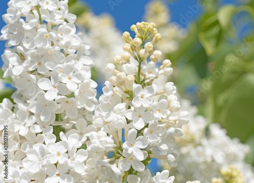 Weißer Flieder, Syringa, Frühling