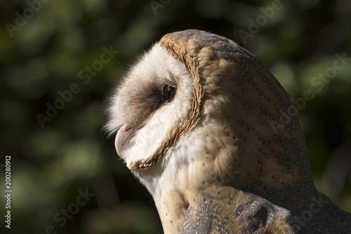 Barn owl at Crane Festival;  Steamboat Springs, Colorado