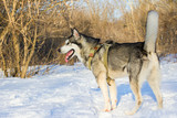 Husky stands in the snow on a blurred background of trees