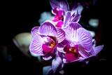Purple and pink orchid flowers in the dark, Cape Town, South Africa