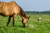The stork walks the field, in the foreground the horse.