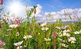 Frühlingserwachen: Meditation, Glück, Freude, Entspannung: Relaxen in Blumenwiese mit leuchtend schönen Margeriten unter blauem Himmel mit Sonne :)