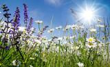 Frühlingserwachen: Meditation, Glück, Freude, Entspannung: Relaxen in Blumenwiese mit leuchtend schönen Margeriten unter blauem Himmel mit Sonne :) - 200289338