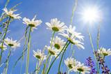 Frühlingserwachen: Meditation, Glück, Freude, Entspannung: Relaxen in Blumenwiese mit leuchtend schönen Margeriten unter blauem Himmel mit Sonne :) - 200289505