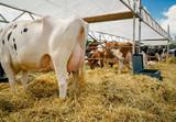 Tierschau - gestylte Kühe warten im Stroh