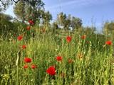 Mohn auf Blumenwiese