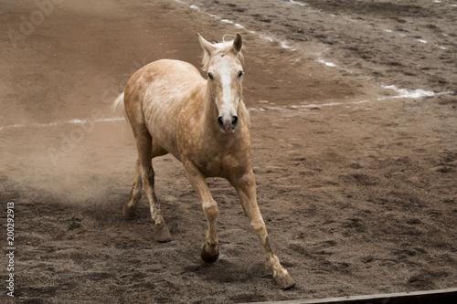 Fotobehang Paarden Light brown horse trotting