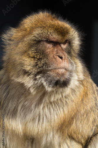 Fotobehang Aap Gibraltar (UK), Upper Rock Nature Reserve. Colony of tailless Barbary macaques.