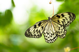 Beautiful butterfly Paper Kite, Idea leuconoe in tropical forest - 200306300