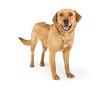 Happy Adult Labrador Retriever Dog on White