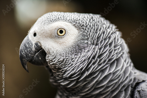 Plexiglas Papegaai Close up of an African Grey Parrot