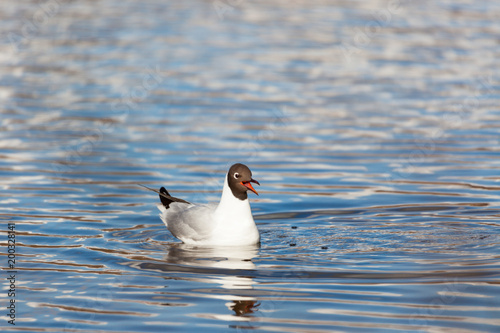 Foto Murales Black-headed gull bird swimming at lake