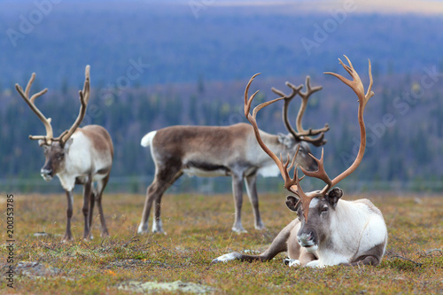 Reindeers in hill