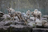 Grey Wolf Animal - 200361935
