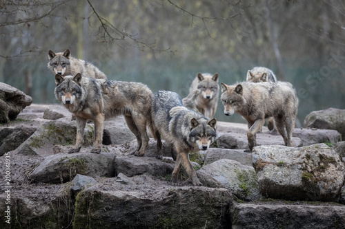 obraz PCV Grey Wolf Animal