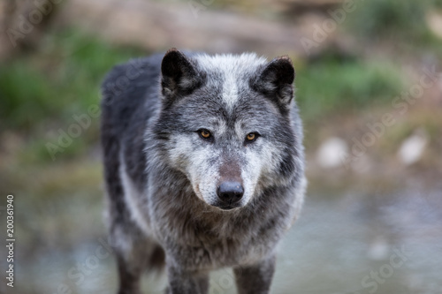 Fototapeta Black Wolf Animal