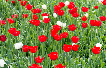 Red and white tulips - Tulipani rossi e bianchi