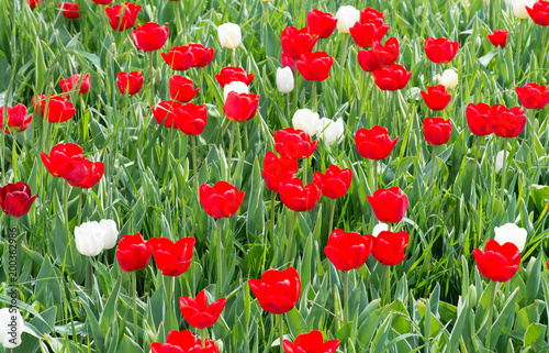 Fotobehang Tulpen Red and white tulips - Tulipani rossi e bianchi