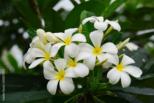 Plexiglas Plumeria Flowers are blooming In the breeding season Has a green foliage background.white and yellow Plumeria .Colorful flowers.